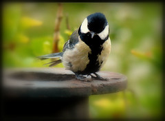 allen noch einen schnen Abend !!! (karin_b1966) Tags: bird nature animal garden natur garten tier vogel 2016 kohlmeise yourbestoftoday