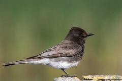 Tyrant-flycatcher (MelRoseJ) Tags: california nature birds northerncalifornia unitedstates sony alpha sanrafael blackphoebe autofocus sonyalpha sal70400g a77ii sonyilca77m2