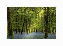 #Forest-of-Dean (Eric Goncalves) Tags: blue trees light color green leaves bluebells forest spring gloucestershire treescape forestofdean nikond810 ericgoncalves