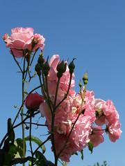 (Psinthos.Net) Tags: morning flowers roses sky leaves spring day blossoms may bluesky rosebush sunnyday      psinthos