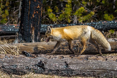 Fox, Yellowstone National Park (malberts78) Tags: park trees mountain nature beautiful beauty animal forest river prime nikon wildlife scenic 300mm national fox stealth yellowstone serene wyoming f4