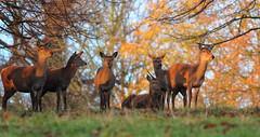 Golden Hinds (hanley27) Tags: yorkshire deer l f56 reddeer hinds canon400mm studleyroyaldeerpark