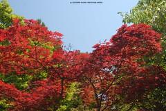 HANAMI, Momiji (acero giapponese rosso) (http://russogiuseppefotoeviaggi.wordpress.com/) Tags: park japan asia natura hanami acero momjiji