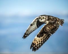 Short-eared Owl_5244.2.14 (raptor wack) Tags: bird nature utah eyes wildlife raptor owl birdsofprey funinthesun shortearedowl nikkor80400 wildutah steveplatt raptorwack raptorwackphotography nikond750