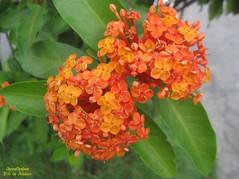 Ixora (Janos Graber) Tags: planta riodejaneiro flor vegetal viladapenha
