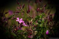 Flower Power in violet (Fabio Siffert) Tags: summer plant flower green nature schweiz switzerland spring nikon power blossom sommer natur pflanze mother violet rosa blume blte violett sugiez d5100