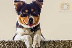 Luke (EGM2002) Tags: dog canon eos is luke canine 7d usm pup australianshepherd ef70200mm f4l canonef70200mmf4lisusm canoneos7d canon7d