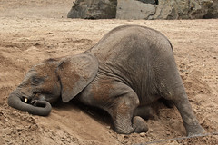 Time for a little nap.. (K.Verhulst) Tags: elephant elephants nl safaripark beeksebergen olifant africanelephant olifanten hilvarenbeek safariparkbeeksebergen afrikaanseolifant