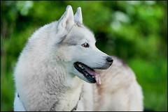 Balto (SFB579 Namaste) Tags: winter wild dog pet animal tongue fur nose husky hound ears breed sled akita tame domesticated dogsled wold