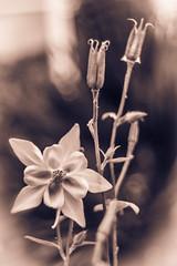 Vintage flower (DC P) Tags: old flower sepia zeiss vintage lens soft bokeh jena carl m42 manual f28 29mm