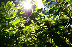 Leaves (blackfyre_photography) Tags: summer sun green leaves leaf warmth flare