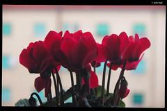 IMG_0153 (anto-logic) Tags: flowers red plants green primavera window nature gardens canon fence walking relax liberty outdoors eos spring nice flora focus perfect pretty bokeh pov walk gorgeous free natura depthoffield finestra pointofview lovely fiori toscana relaxed piante rosso livorno aria libero domenica libertà aperta bello passeggiata profonditàdicampo puntodivista
