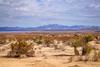 IMG_1270_A Joshua Tree (Alex Hsieh (椰子人)) Tags: california ca usa canon nationalpark joshuatree joshuatreenationalpark 2016 canon6d ç´è²
