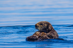 otter5July16-16 (divindk) Tags: californiaseaotter enhydralutris morrobay cute endangeredspecies fuzzy marine marinemammal ocean otter sea seaotter whiskers