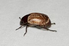 Rutelinae sp. (Scarab Beetle) - Costa Rica (Nick Dean1) Tags: coleoptera beetle animalia arthropoda arthropod hexapoda hexapod insect insecta costarica lakearenal