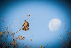 Moondance (Ilana Uys) Tags: blue sky moon bird leaves southafrica hope freedom dance wings open branches celebrate darkcappedbulbul rietvleinaturereserve
