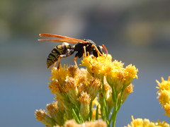 Don't Bother Me I'm Busy! (starmist1) Tags: insects macro wasp bokeh yellow flowers bunch columbiariver entomology