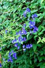 Garden July 2016 (Chris Draper) Tags: monkshood wolfsbane garden gardening englishgarden cottagegarden cambridge