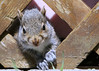 Orphaned Baby Squirrel (TreeTree2012) Tags: squirrel greysquirrel babysquirrel orphaned