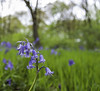 Bluebell Wood (Aaron Miller Photo) Tags: park wood flowers blue trees england flower tree love nature field grass bluebells woodland fun spring woods woodlands nikon exposure flickr bokeh exploring south sheffield explore national naturist hanging bluebell hang lovenature southyorkshire naturephotography meadowhall d40 naturephoto explored throughtheviewfinder nikonuser southyorks nikond40 flickraward naturephotograph wincobank nikonflickraward
