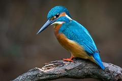 KINGFISHER II - EXPLORED (photojordi) Tags: birds pajaros kingfisher martinpescador blauet photojordi