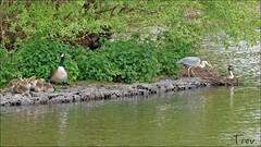 The Fish Pond Island (Trev Grant) Tags: uk heron island birmingham goslings canadagoose greyheron greatcrestedgrebe 2013 pypehayespark thefishpond 22ndmay2013