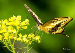 LE DOLCEZZE DEL BOSCO!! (Roberto.mac.) Tags: natura colori paesaggi bosco farfalle dolcezze allcomments robertomac landscapesbutterflies