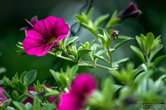 Gramo...flower. (E-San Photo) Tags: sony erich mystic naturally mii sander a77 ilca77m2 byerichsanderallrightsreservedpleaserespectcopyrights