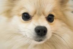 Olhar canino (Lucyana Machado) Tags: amiga cachorro pomeranian spitz tulipa ano fiel