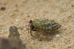 ヤドカリ / Hermit Crab (kimtetsu) Tags: animal hermitcrab 日本 okinawa 沖縄 動物 竹富島 ヤドカリ taketomiisland 沖縄県 八重山郡