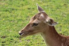 Daine (Passion Animaux & Photos) Tags: doe deer parc fallow daim saintecroix femelle daine