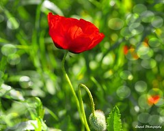 coquelicot (laurek.photography) Tags: red france flower nature fleur landscape rouge dof natural bokeh campagne coquelicot
