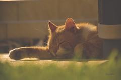 Mr. Sandman, bring me a dream... (kuzz1984) Tags: sun grass cat sleep chilling