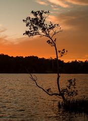 The Lone Mangrove (OzzRod) Tags: sunset tree silhouette pentax dusk australia mangrove lakemacquarie k1 fiveislands cocklecreek speerspoint czjpancolarzebra50mmf18