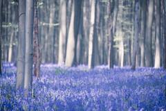 2016春紫色森林日出-20 (fengchi860602) Tags: 欧洲 春 风信子 比利时 布鲁塞尔