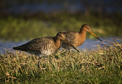 Mirorring godwits (wimvandemeerendonk) Tags: blue wild lake color colour bird nature netherlands colors birds contrast landscape mammal outdoors utrecht colours minolta bright outdoor wildlife sony nederland sigma wetlands land 500mm monumental birdwatcher telelens eemnes godwit eemland ethology earthnaturelife sweetfreedom wimvandem