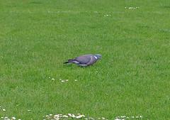 Wood Pigeon (Kay Bea Chisholm) Tags: green bird field grass sunshine football centralpark wildlife wallasey woodpigeon