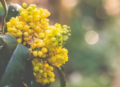 yellows (StadtKind - capture the Bokeh) Tags: green yellow germany munich bavaria europe dof botanicalgarden nymphenburg 2016 boheh stadtkind bokehlicious doflicious olympusem10markii olympusm6028
