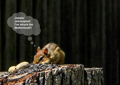 Dreams do come true... (Brad Worrell) Tags: peanuts chipmunk lucky fortunate sunflowerseeds