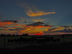 Low of the Cattle at Sunset (clarkcg photography) Tags: light sunset red sky sun oklahoma clouds rural outdoors spring cattle cows country pasture herd muskogee northeastoklahoma