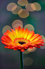 Gerbera bokeh (James_D_Images) Tags: orange flower green yellow garden lights bokeh outdoor gerbera daisy