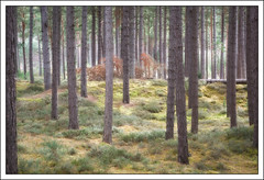 The Cycle of the Forest (mistymornings99) Tags: nature woodland scotland unitedkingdom fallen gb moray burghead roseisle