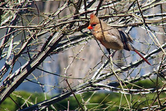 P5030174B (The Real Maverick) Tags: toronto ontario canada bird highpark cardinal outdoor olympus femalecardinal torontoparks olympusstylus1