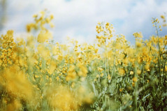 springtime (dorthrithil) Tags: flowers sky film yellow analog canon germany spring ae1 blossoms koblenz rapeseed rbeach