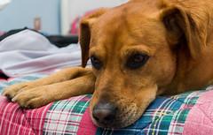My Dog Leo (gabrielegalloni) Tags: dog brown house cane relax casa bored noia letto pelo marrone