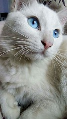 Foster, o gato! (jennifer.prate) Tags: gato novaodessa gatobranco