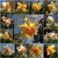 (Tlgyesi Kata) Tags: garden spring mosaic daffodil narcissus narzissen mozaik nrcisz budaiarbortum withcanonpowershota620