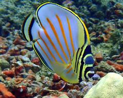 Ornate Butterflyfish (Chaetodon ornatissimus) (J.Thomas.Barnes) Tags: ornate butterflyfish chaetodon ornatissimus hawaii kona portrait fish icthyology