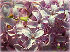 Baby pink (V and the Bats) Tags: pink flowers plant flora springflowers lilacs blooming babypink pinklilacs