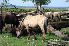 Oostvaardersplassen (natas0320) Tags: horses horse holland nature thenetherlands wildhorses lelystad takingpictures oostvaardersplassen takingfotos natureonyourdoorstep